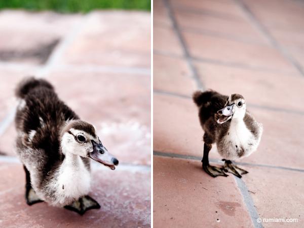 duckscats